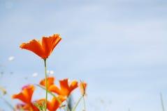 在蓝天前面的橙色鸦片 免版税库存照片