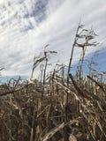 在蓝天前面的玉米茎 免版税库存图片