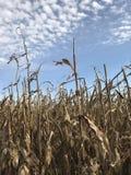 在蓝天前面的玉米茎 免版税库存照片