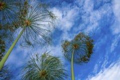 在蓝天前面的纸莎草开花 免版税库存图片