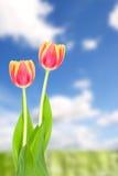 在蓝天前面的郁金香 库存图片