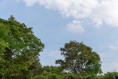 在蓝天和云彩背景的绿色树上面线 库存图片