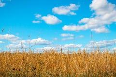 在蓝天和有些云彩的金黄燕麦领域 免版税库存照片