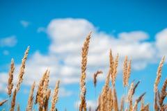 在蓝天和有些云彩的金黄燕麦领域 库存照片
