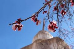 在蓝天和stupa背景的杏子花 库存图片