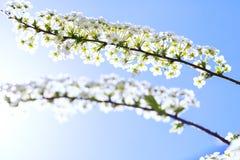 在蓝天机智背景的五颜六色的开花的grefsheim spirea  库存照片