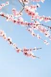 在蓝天樱花下 库存图片