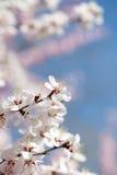 在蓝天樱花下 库存照片