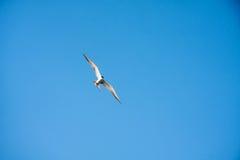 在蓝天的一只飞行海鸥 图库摄影
