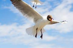 在蓝天的一只飞行的海鸥与白色云彩 免版税库存图片