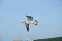 在蓝天的一次海鸥飞行 免版税图库摄影