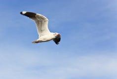 在蓝天的一次白色海鸥飞行 库存照片
