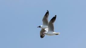 在蓝天的两只鸟 免版税库存照片