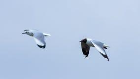 在蓝天的两只鸟 免版税图库摄影