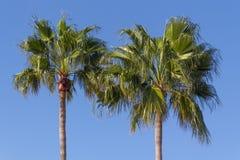 在蓝天的两palmtrees 图库摄影