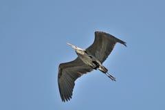 在蓝天的伟大蓝色的苍鹭的巢飞行 库存照片