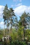 在蓝天的几棵杉木 库存照片
