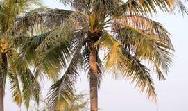 在蓝天的可可椰子树在泰国 库存图片