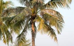 在蓝天的可可椰子树在泰国 免版税库存照片