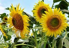 在蓝天的向日葵 免版税库存图片