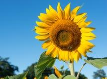 在蓝天的唯一向日葵 免版税图库摄影