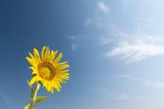 在蓝天的唯一向日葵 库存照片