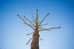 在蓝天的奇怪的不生叶的树 免版税库存照片