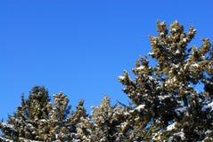 在蓝天的常青树 免版税图库摄影
