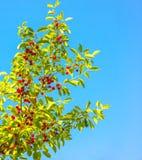 在蓝天的成熟樱桃,背景 免版税库存图片