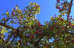 在蓝天的成熟美味的红色山楂树莓果 免版税库存照片