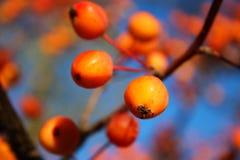 在蓝天的明亮的橙色秋天莓果 库存图片