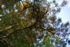 在蓝天的杉木 免版税库存照片