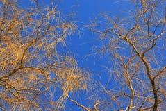 在蓝天的柳树 免版税库存图片