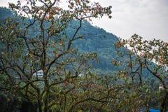 在蓝天的柿树 库存照片