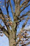 在蓝天的树在12月出现晴天 库存照片