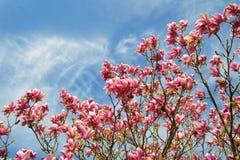 在蓝天的桃红色木兰树 免版税库存图片