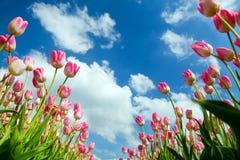 在蓝天的桃红色郁金香 免版税库存图片