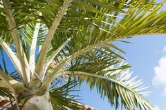 在蓝天的棕榈树与白色云彩 免版税库存照片