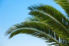 在蓝天的棕榈树分支 免版税库存图片