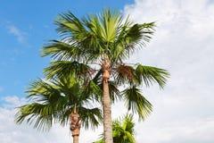 在蓝天的棕榈树 免版税图库摄影