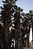 在蓝天的棕榈树 图库摄影