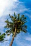 在蓝天的椰子叶子 免版税库存照片