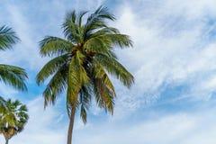 在蓝天的椰子叶子 库存图片