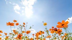 在蓝天的橙色波斯菊花 库存照片