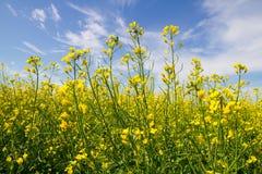 油菜籽黄色花 库存图片