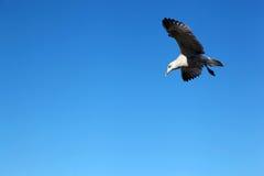 在蓝天的海鸥没有云彩 免版税库存图片