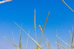 在蓝天的特写镜头草在背景 免版税库存照片