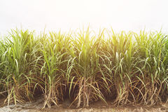 在蓝天的甘蔗领域与橙色光芒 图库摄影