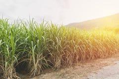 在蓝天的甘蔗领域与橙色光芒 免版税库存照片