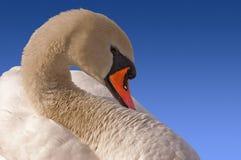 在蓝天的疣鼻天鹅 免版税库存照片
